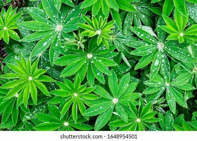 Water droplets on Lupin leaves.