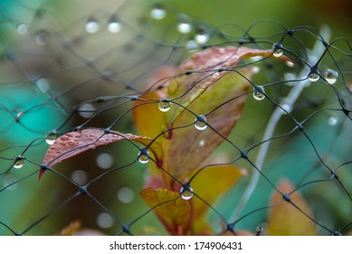 Water Droplets on Netting over Fall Blueberry Bush