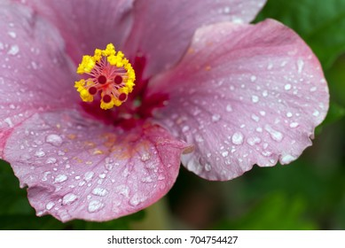 Water droplets on the pink petals of a hibiscus flower after the rain
