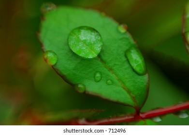water droplets on rose leaf