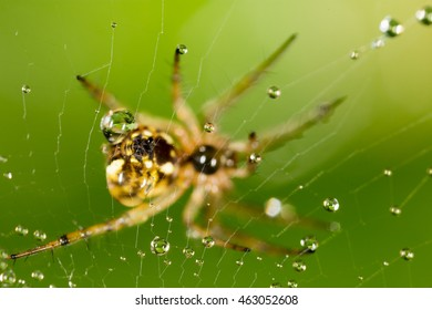 water droplets on a spider web with spider in nature
