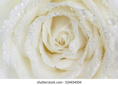 water droplets on white rose flower background