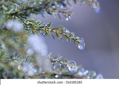 Water drops falling down of a little snowflakes melting in the branches of a tree. Stock photography.