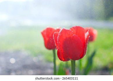 Water drops, morning dew on fresh blooming red tulips in the spring garden
