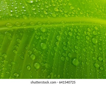 Water drops on banana leaf background.
