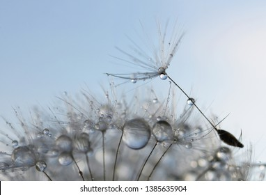 Water drops on a dandelion seed close up. Nature background.