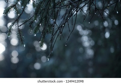 water drops on evergreen hemlock branches with bokeh in the background.