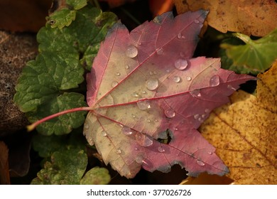 Water Drops on Fall Leaves