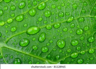Water drops on fresh green leaf,