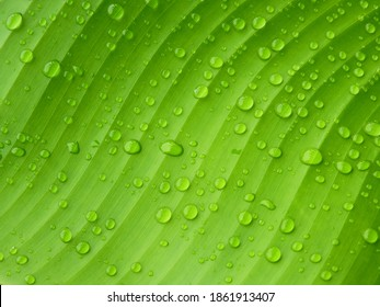 water drops on green banana leaf texture after rain