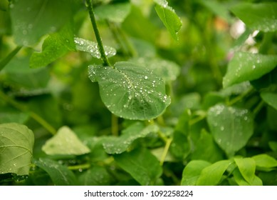 Water drops on a green leaf after the rain