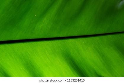 water drops on green leaf Bird's nest fern texture background