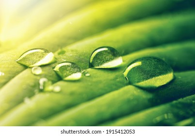 Water drops on green leaf in rays of sun, close-up macro. Raindrops on textured leaf in nature.