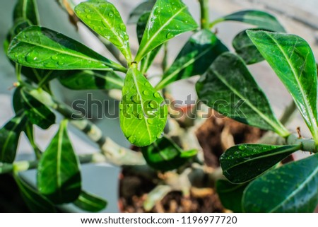 Water Drops On Leaves Adenium Obesum Stock Photo Edit Now