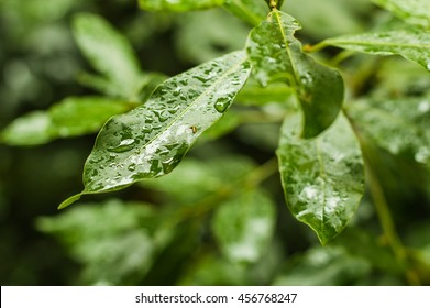Water Drops on Leaves With a Depth of Field