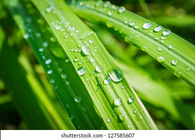 Water drops on lemongrass in the morning