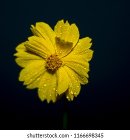 water drops yellow flower on black background