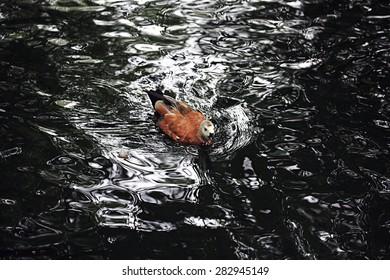 water duck flock of birds