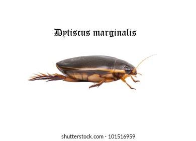 Water floating bug (Dytiscus marginalis)