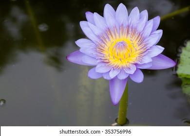 Water flower in the pool