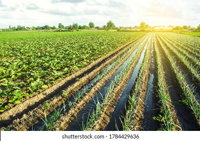 Water flows through irrigation canals on a farm leek onion plantation. Agriculture and agribusiness. Conservation of water resources and reduction pollution. Caring for plants, growing food.