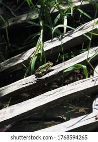 Wasserfrosch sitzt auf Holzbrett in der europäischen Goczalkowice Stadt im schlesischen Bezirk in Polen im Jahr 2020 warm sonnigen Frühlingstag im Juni - vertikal.