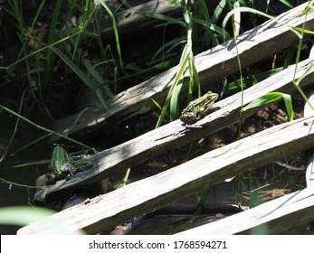 Der Wasserfrosch sitzt auf Holzbrett in der europäischen Stadt Goczalkowice im schlesischen Bezirk in Polen im Jahr 2020 warm sonnigen Frühlingstag im Juni.