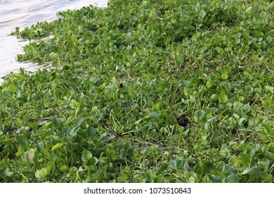 Water hyacinth, an aquatic plant native to the American basin, is a problematic invasive species.