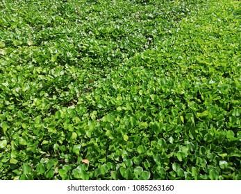 water hyacinth background