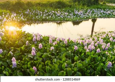 ฺBeautiful water hyacinth is blooming in the lake