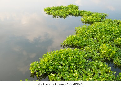 Water Hyacinth (Eichhornia crassipes) in pond
