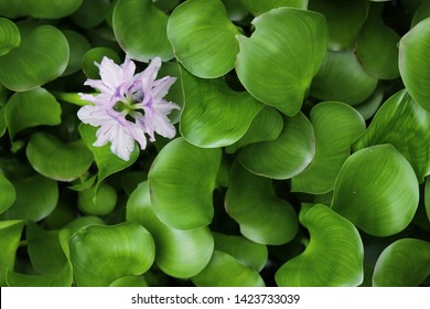 Water Hyacinth (Eichhornia crassipes) with a single purple flower