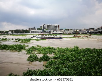 The water hyacinth floating on the river