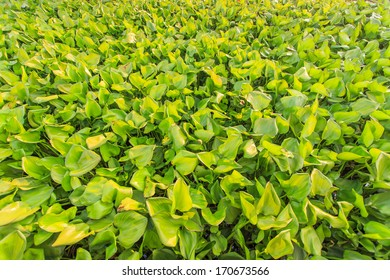 water hyacinth on the small river