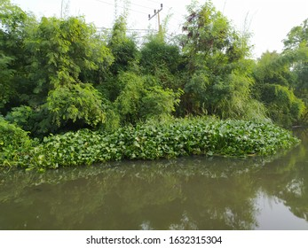 Water hyacinth plants by the river