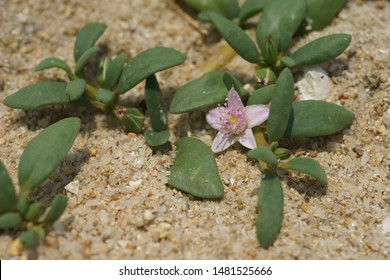 water hyssop, Indian pennywort (Bacopa monnieri). Coastal plant species. Flowering. Found on intertidal mudflat, Hong Kong, South China Sea.