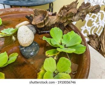 Water lettuce on a claypot