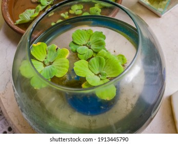 Water lettuce as oxygen support for small fish