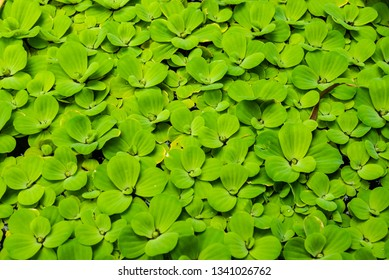 Water Lettuce (Pistia stratiotes) in water