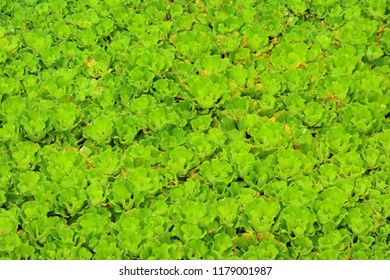 Water lettuce used for wastewater treatment