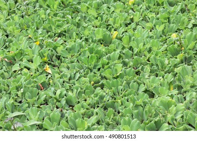 water lettuce used wastewater treatment background ( Pistia stratiotes L. , ARACEAE )