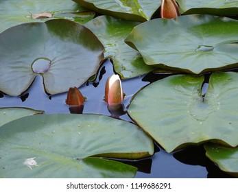 water lilies Apenheul Apeldoorn