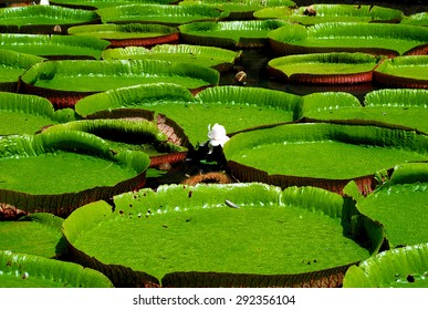 Water lilies in the Botanical Garden - Mauritius