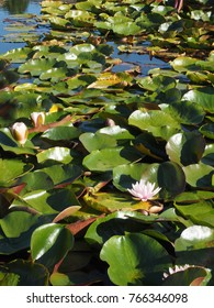 Water lilies floating on pond with green leaves or pads and pink blossoms. Sunshine