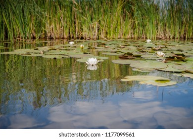 Water lilies with green leaves floating on the mirrored water surface of a water channel in the holandse polder under a blue sky with white clouds