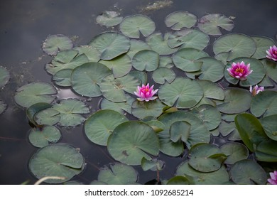 Water lilies, Nymphaea in the pond, relaxation, exotic