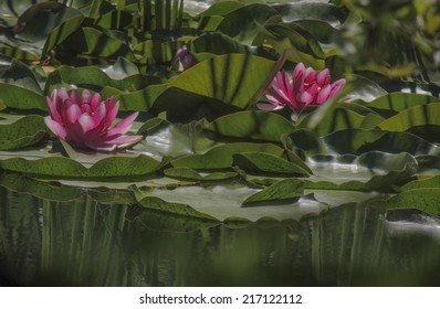 Water Lilies (Nymphaeaceae) are flowering aquatic plants that root in soil with the leaves and flowers floating on the water of a lake in the Sierra foothills of Northern California.