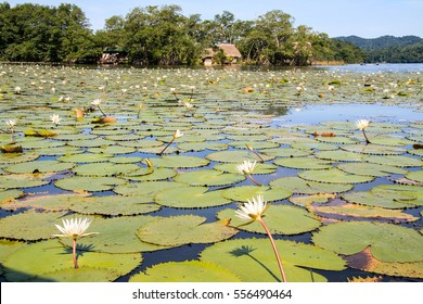 Water lilies on the Dulce river. Guatemala.