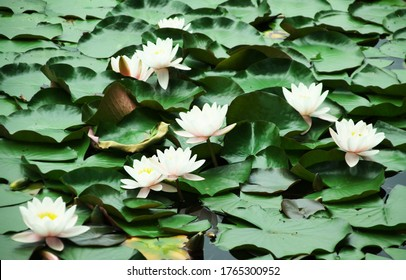 Water lilies on the Silver Lake