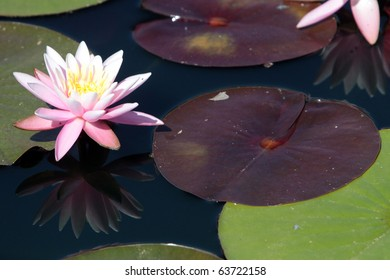 water Lilies and pads  in the Water Garden exhibit  at the Hunstville Alabama Botanical Park
